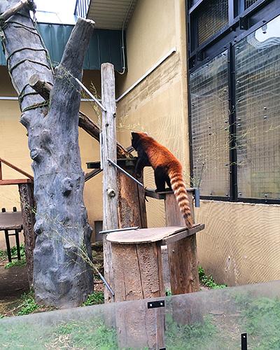 レッサーパンダ。警戒心が強いのか、なかなかこっちを向いてくれません。