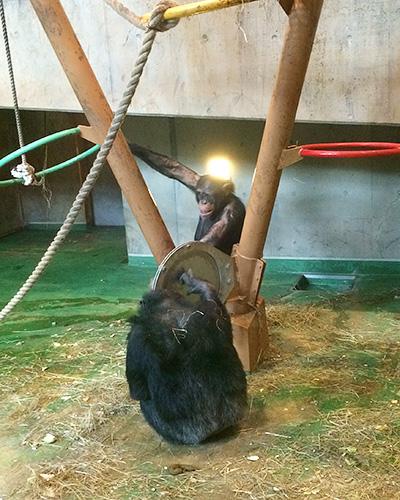 延々とシンバルを叩き続けるチンパンジー。それじっと聞いてるチンパンジー。