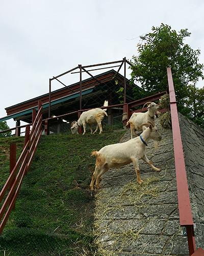 ヤギもいっぱい。やっぱり高いところが好き